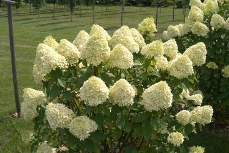 Hortensie &quot;Limelight&quot;